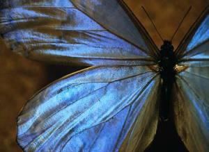 blue-morpho-butterfly-518617-ga